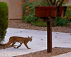Neighborhood Bobcat